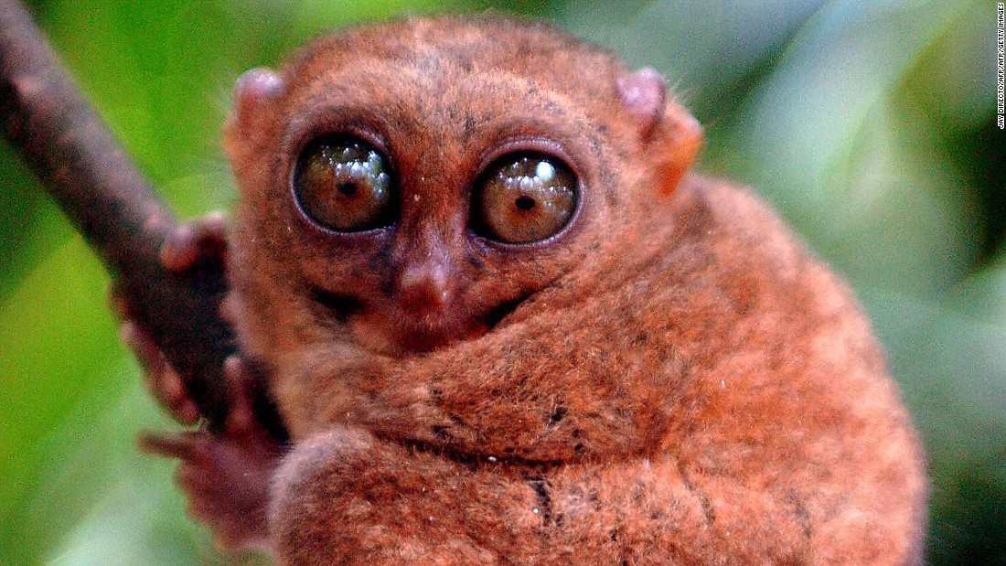 Meet the Philippine tarsier: The second-smallest primate on the planet