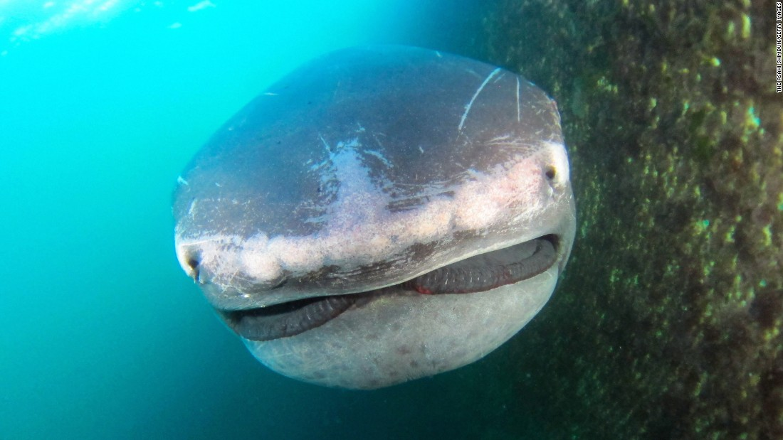 "A rare megamouth shark is seen in Tateyama, Japan, after getting accidentally caught in a fishing net on Monday, May 22. It was freed but did not survive, <a href=""http://www.asahi.com/ajw/articles/AJ201705240038.html"" target=""_blank"">according to the Asahi Shimbun newspaper.</a>"