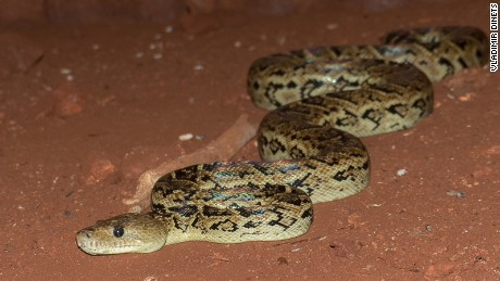 A Cuban boa, which scientist Vladimir Dinets says he observed working collaboratively to catch fruit bats