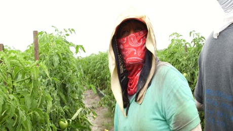 Alejandrina Carrera working on a tomato farm in Immakolee, Florida.