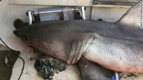 In this Sunday, May 28, 2017 photo released by Lance Fountain, a 2.7-meter (9-foot) great white shark lays on the deck of a fishing boat at Evans Head, Australia. Fisherman Terry Selwood said Monday, May 29, that he was left with a badly bruised and bleeding right arm where the airborne shark struck him with a pectoral fin as it landed on him on the deck. (Lance Fountain via AP)