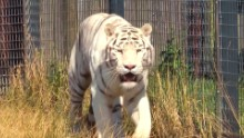 Tiger kills zookeeper in England zoo