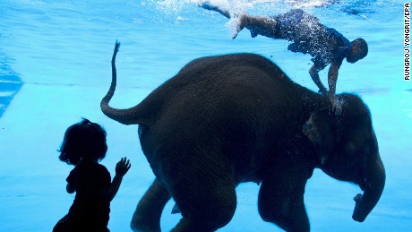 epa06002712 A young visitor looks at an eight-year-old female elephant named Saen Dao swimming and diving with a Thai mahout inside a glass panel swimming pool at Khao Kheow Zoo, Chonburi province, Thailand, 01 June 2017. The elephant swimming and diving performance is held to educate visitors about pachyderm behavior as well as to promote tourism.  EPA/RUNGROJ YONGRIT