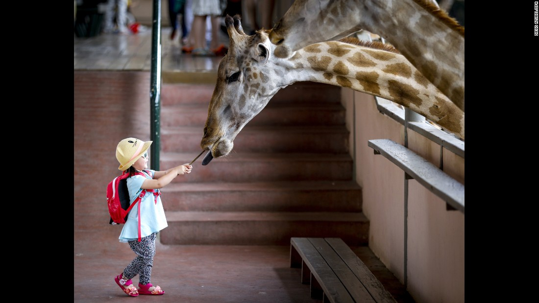 A girl feeds a banana to a giraffe Saturday, May 27, at the Safari World park in Bangkok, Thailand.