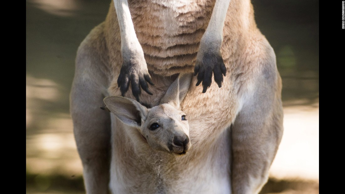 A 14-week-old kangaroo looks out from its mother's pouch at a zoo in Nyiregyhaza, Hungary, on Monday, May 29.