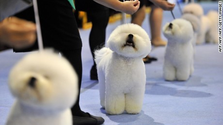 Breeders keep their Bichon Frise dogs in a line at the Seoul FCI International Dog Show in Seoul on September 1, 2013. The dog show took place from August 31 - September 1.       AFP PHOTO / TRUTH LEEM        (Photo credit should read Truth LEEM/AFP/Getty Images)