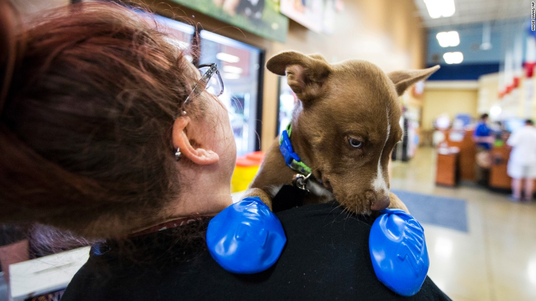Morgan Reed, a promotions assistant for the Phoenix radio station KSLX, plays with a puppy wearing elastic booties at a PetSmart in Tempe, Arizona, on June 20. The radio station handed out the booties to protect dogs' paws from the hot pavement.