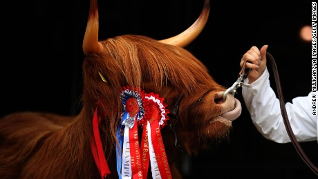 Highland cow Eleanor, from the Ranch Fold farm in Letham, Angus, after becoming breed champion in the Highland Cattle section during the first day of the 177th Royal Highland Show in Edinburgh.