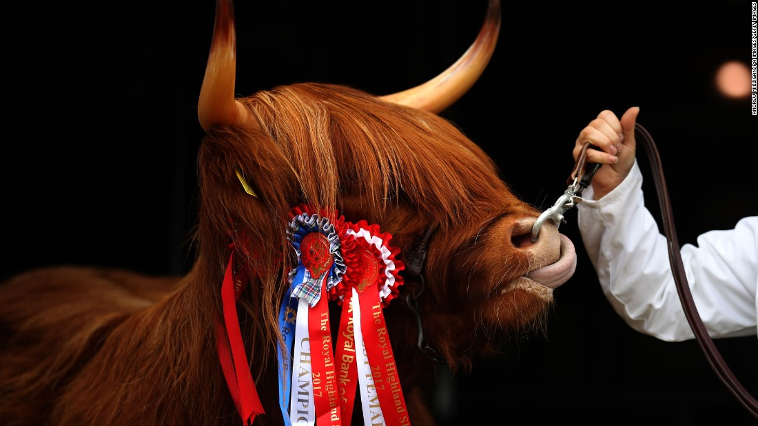 Eleanor, a Highland cow from the Ranch Fold farm in Letham, Scotland, wears a champion ribbon Thursday, June 22, during the Royal Highland Show in Edinburgh, Scotland.
