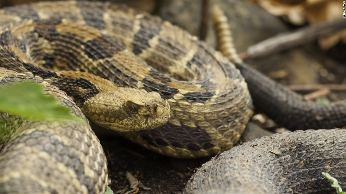 "Timber rattlesnakes (scientific name: <a href=""http:/"
