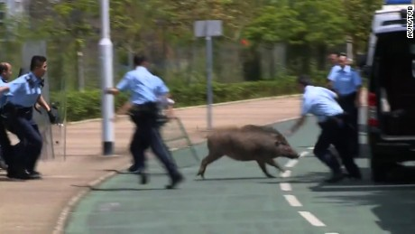 Police in Hong Kong chase wild boar in urban park before finally capturing it