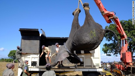 "A tranquilized elephant is lifted into a wake-up crate. The spray-painted letter on its side identifies its family group. ""They have very strong social bonds, so we use that to our advantage when we catch and load them. At the same time it is important for the adaptation on the other side of the reserve,"" says lead vet Kester Vickery."