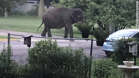 Jaime Lynn, a Baraboo, Wisconsin resident, saw this elephant outside her house Friday morning after it escaped from the nearby circus. Lynn said she heard a dog barking and a neighbor scream, so she looked outside to see what was going on.