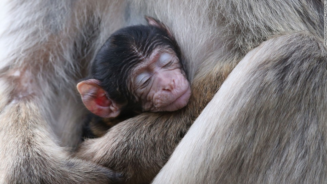 A baby macaque -- one of three recently born at the Blair Drummond Safari Park in Scotland -- is held by his mother on Monday, July 3.