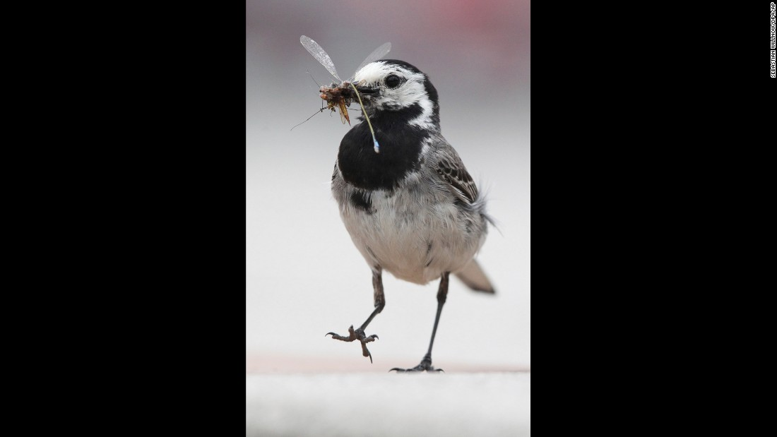 A white wagtail holds an insect in its beak Saturday, July 1, in Markkleeberg, Germany.