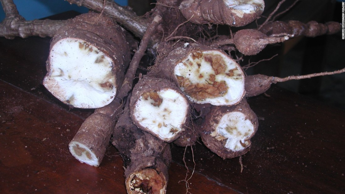 Tell-tale signs of Cassava Brown Streak Disease (CBSD), dubbed the 'Ebola of plants,' which is ravaging crops across East Africa.