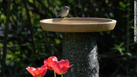 House-sparrow perched on bird bath with red tulip garden flowers.