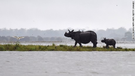 Indian one-horn rhinos take shelter from flood waters on higher land at Kaziranga National Park, about 250 kilometers east of Guwahati, on July 10, 2017.