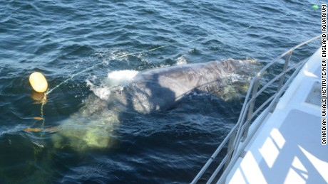 Campobella Whale Rescue Team was part of effort that saved entangled North Atlantic Right Whale on July 5