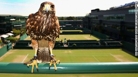 WIMBLEDON, ENGLAND - JUNE 29:  Rufus the resident Harris Hawk keeps the courts pigeon free on Day Seven of the Wimbledon Lawn Tennis Championships at the All England Lawn Tennis and Croquet Club on June 29, 2009 in London, England.  (Photo by Ian Walton/Getty Images)