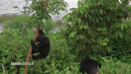 Inside Africa How chimpanzees problem solve and cooperate B_00003421.jpg