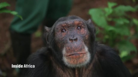 Bringing orphaned chimps back into the forest