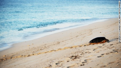 A hawksbill female turtle makes her way up the sandy beach in one of the Seychelles outer islands.