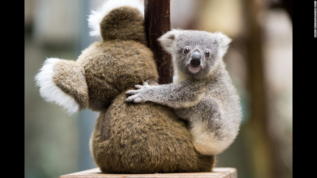 A baby koala hugs a stuffed animal at a zoo in Duisburg, Germany, on Wednesday, July 26.