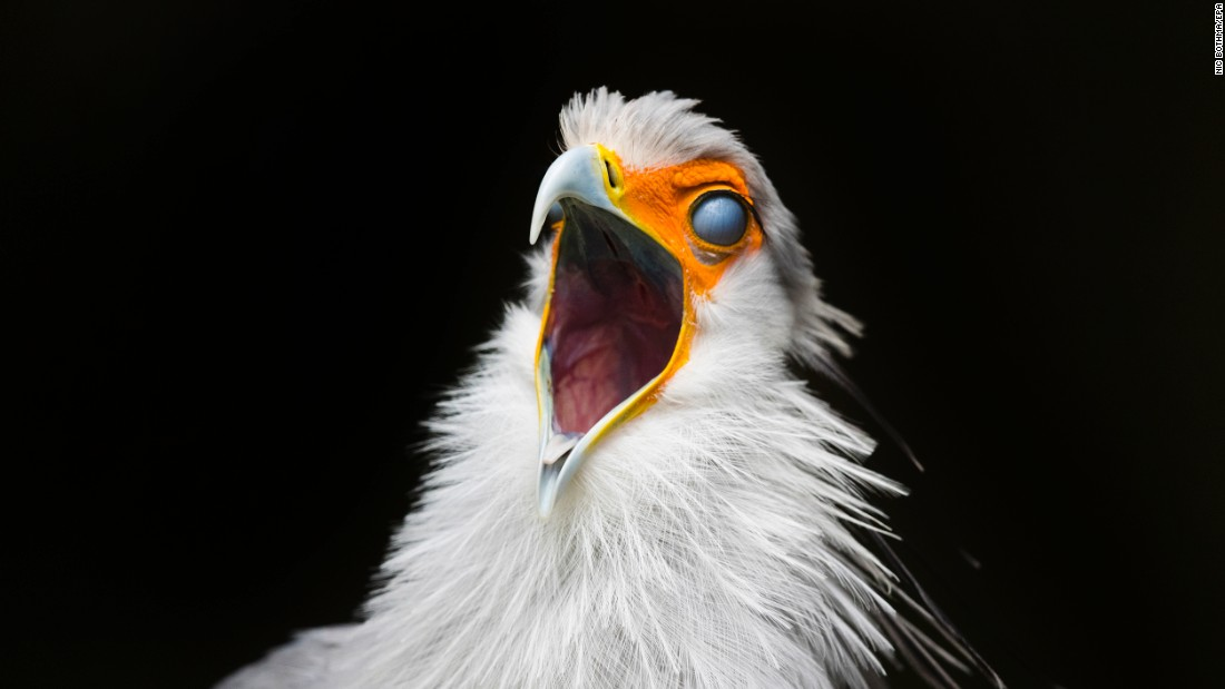 A secretary bird rolls its eyes back and squawks at a wildlife sanctuary in Cape Town, South Africa, on Wednesday, August 2. The World of Birds Wildlife Sanctuary is the largest bird park in Africa.