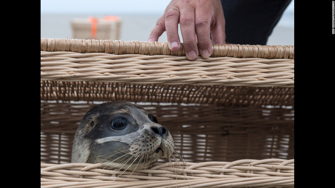 Lea, a young seal, peers out of a basket on the island of Juist, Germany, on Tuesday, August 8. She was one of three seals being released into the wild after growing up at a rescue station in Norddeich.