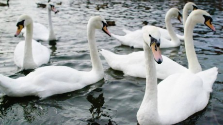 GBS Swans England Royal Treatment _00003516.jpg