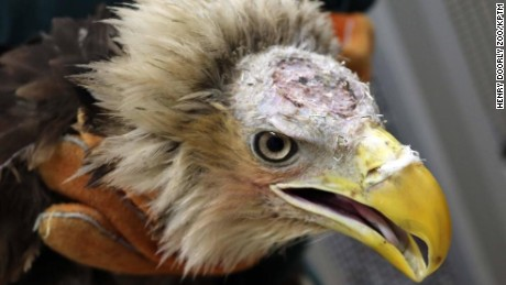 Injured bald eagle recovering