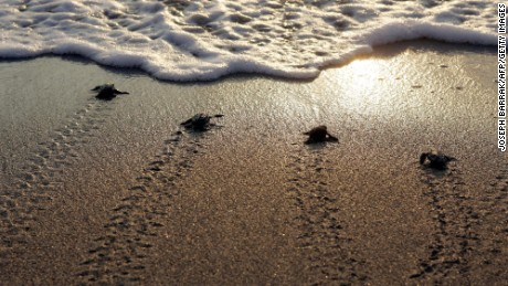 Newborn marine turtles head towards the sea at Mansuri beach, about 95 km south of Beirut.