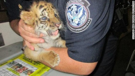 A tiger cub was rescued at the U.S. Mexico border as two men attempted to bring the animal in to California from Mexico.