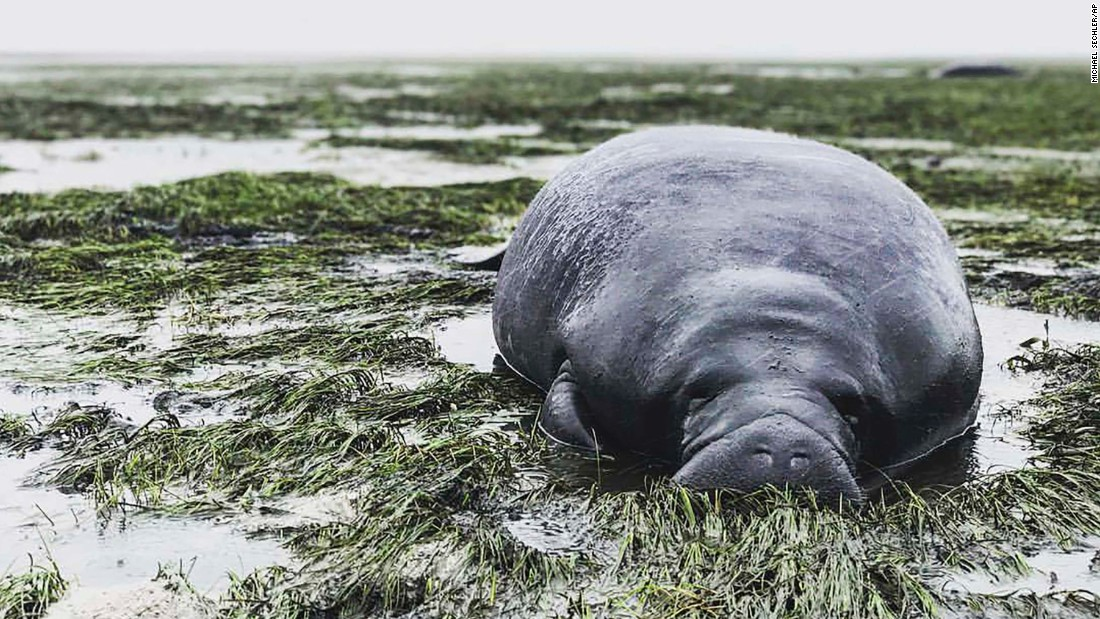 A manatee lies stranded September 10 after waters receded during Irma's approach in Manatee County, Florida.