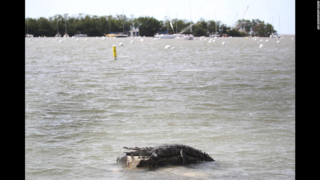 A crocodile appears at the Dinner Key Marina in Miami on September 11.