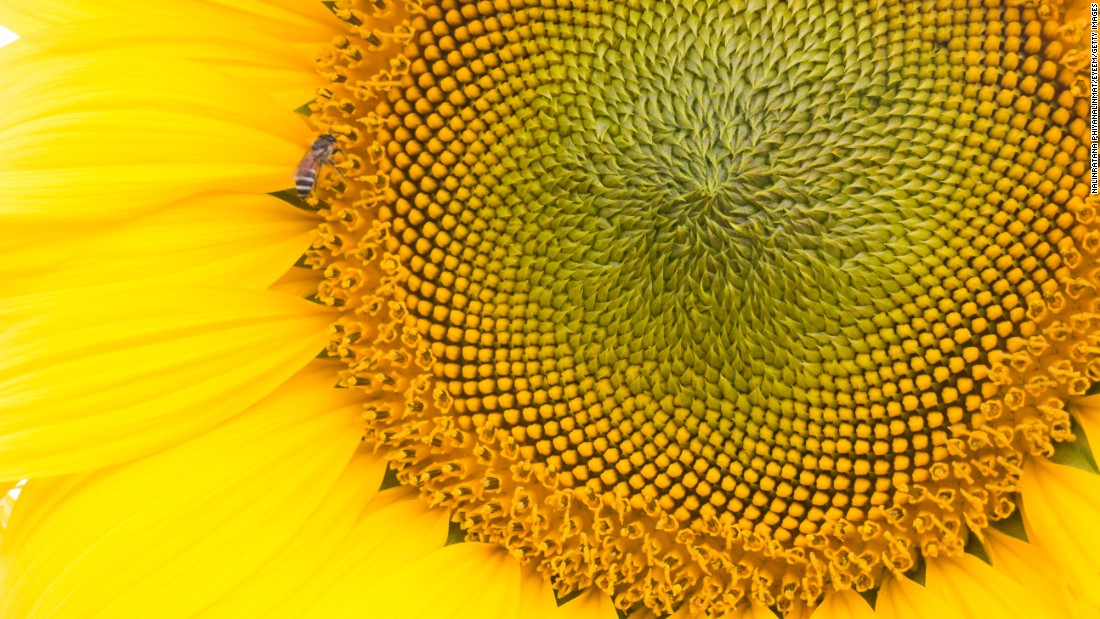 Nature can be a minefield of triggers for those with trypophobia. This beautiful sunflower is filled with terrifying clusters of bumps that could easily spark reactions ranging from distaste to an attack of anxiety.