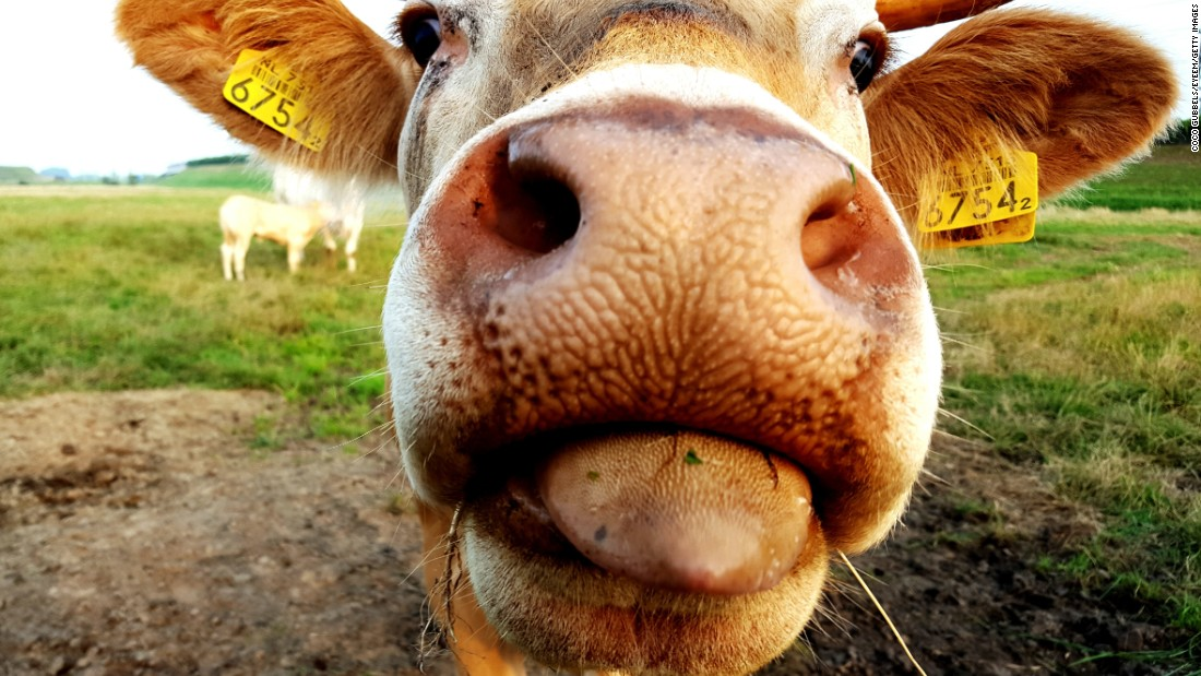 Even the nose and tongue of this curious cow might be a cause for distaste if a person with trypophobia was on the receiving end.