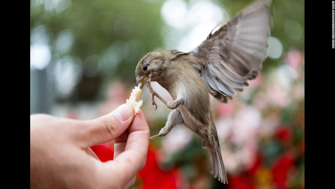 A sparrow gets a piece of bread at a park in Dresden, Germany, on Wednesday, September 13.