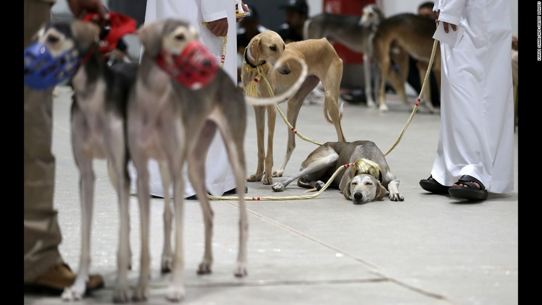 A dog rests during the Arabian Saluki Beauty Contest, a dog show in Abu Dhabi, United Arab Emirates, on Thursday, September 14.