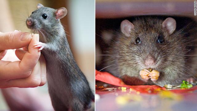 Hong Kong Street Food Rat