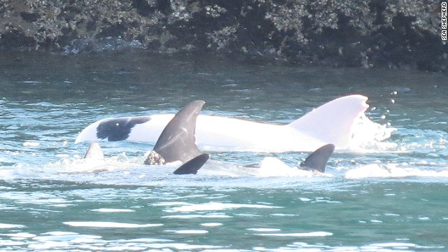 Australians launch lawsuit to defend Taiji dolphins ...  |Albinism In Dolphins