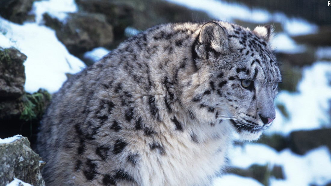 Protecting Snow Leopards in the Face of Climate Change