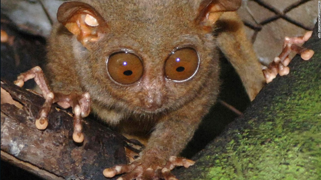 Meet the Philippine tarsier, world's second-smallest ...
