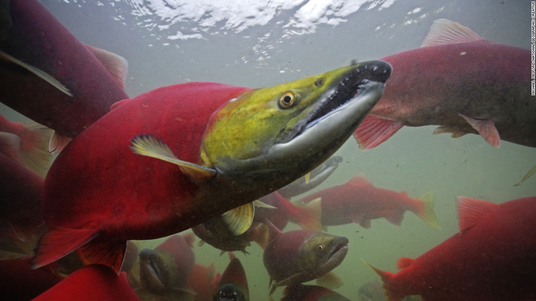 Sockeye salmon find their way from the ocean to their natal stream.